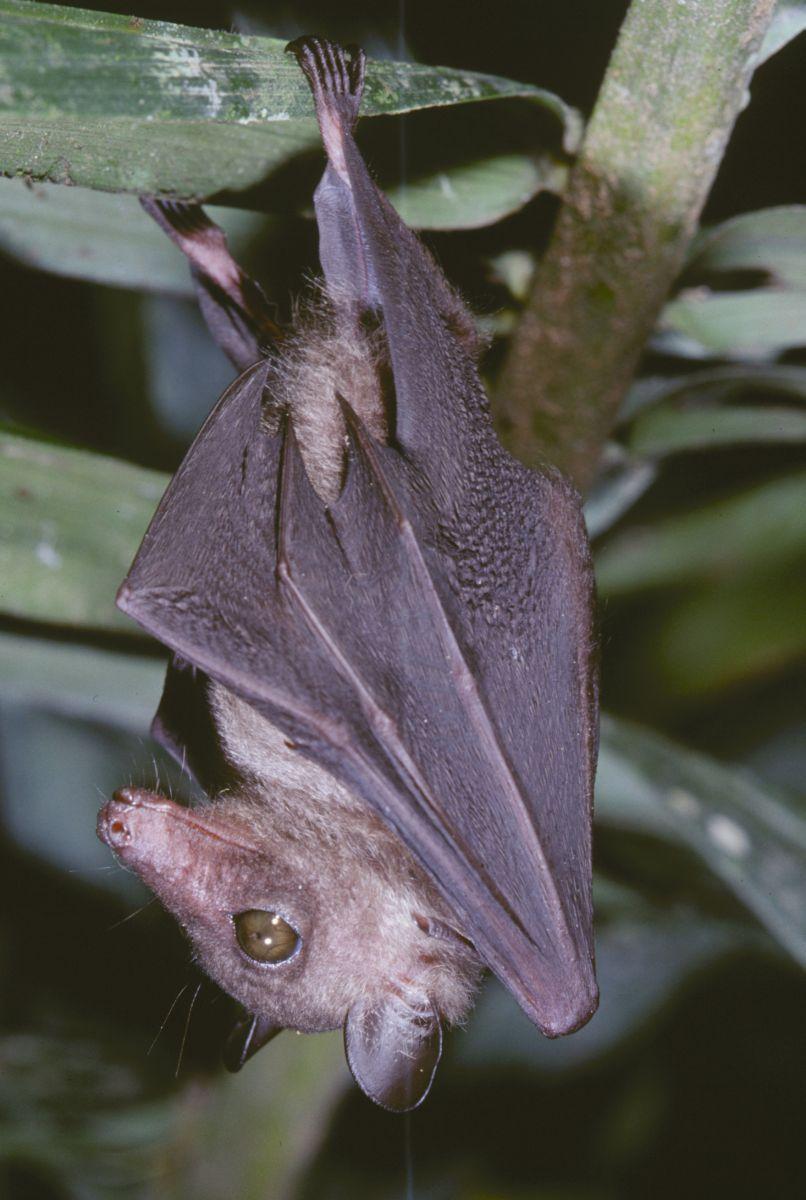 Megaloglossus woermanni (© Jakob Fahr) Fruit bat, Fruit
