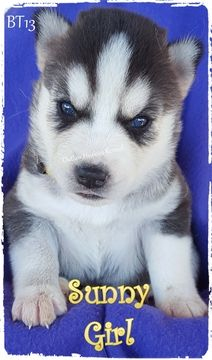Litter Of 7 Siberian Husky Puppies For Sale In Quinlan Tx Adn