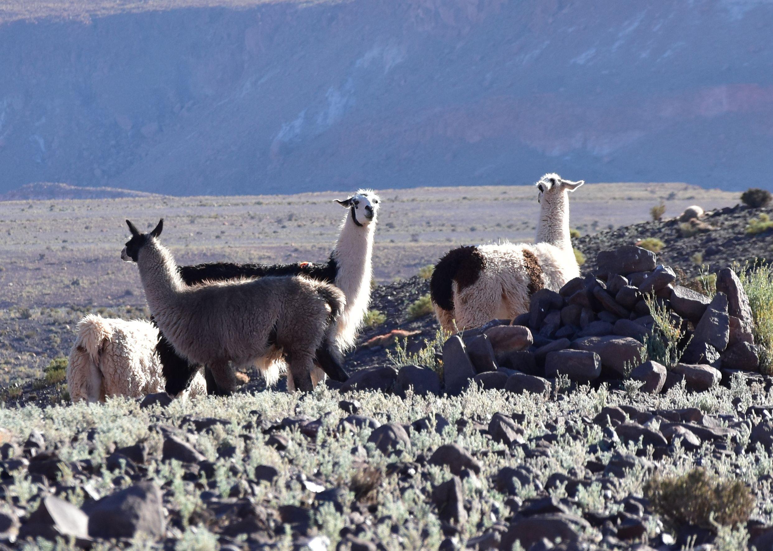 Llamas entre las rocas, Atacama, Chile