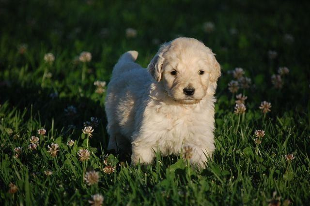 Abey Acres Goldendoodles Pet Dogs Puppies Goldendoodle Breeders