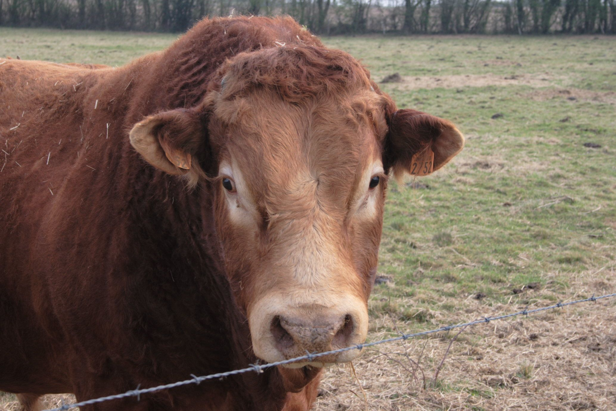 limousin cattle Kslimousin : the limousin cattle of kyle and andrea smith.