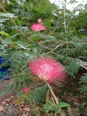 Bwana joen kynästä: Fiksut kasvit ällistyttävät tutkijoita: mimosa tie...