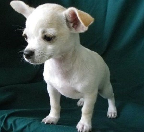 Chihuahua Puppies For Sale Cardiff Zoe Fans Blog Puppies