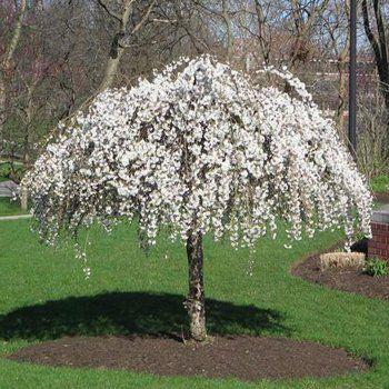 flowering trees & small ornamental