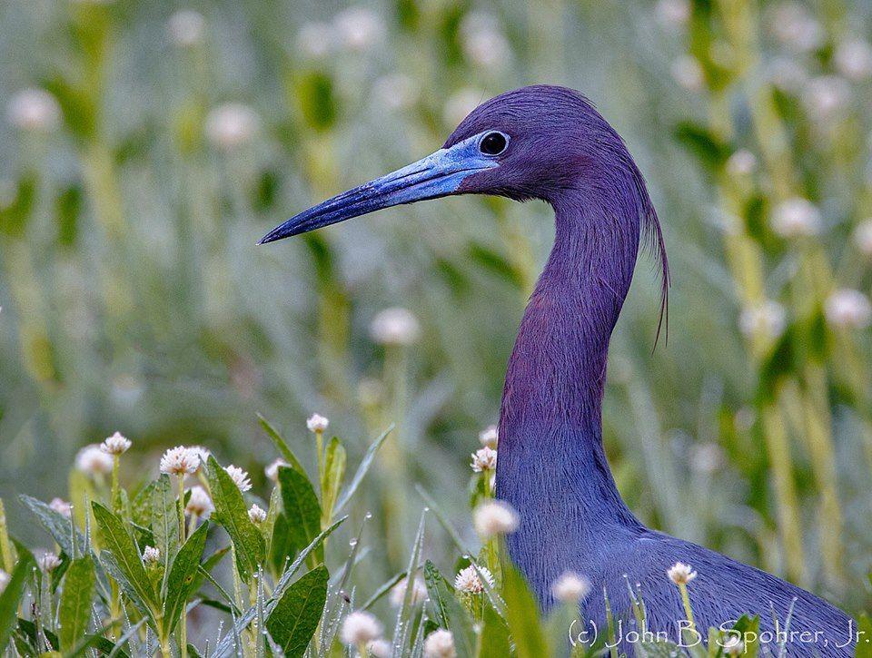 John Spohrer's photo of little blue heron