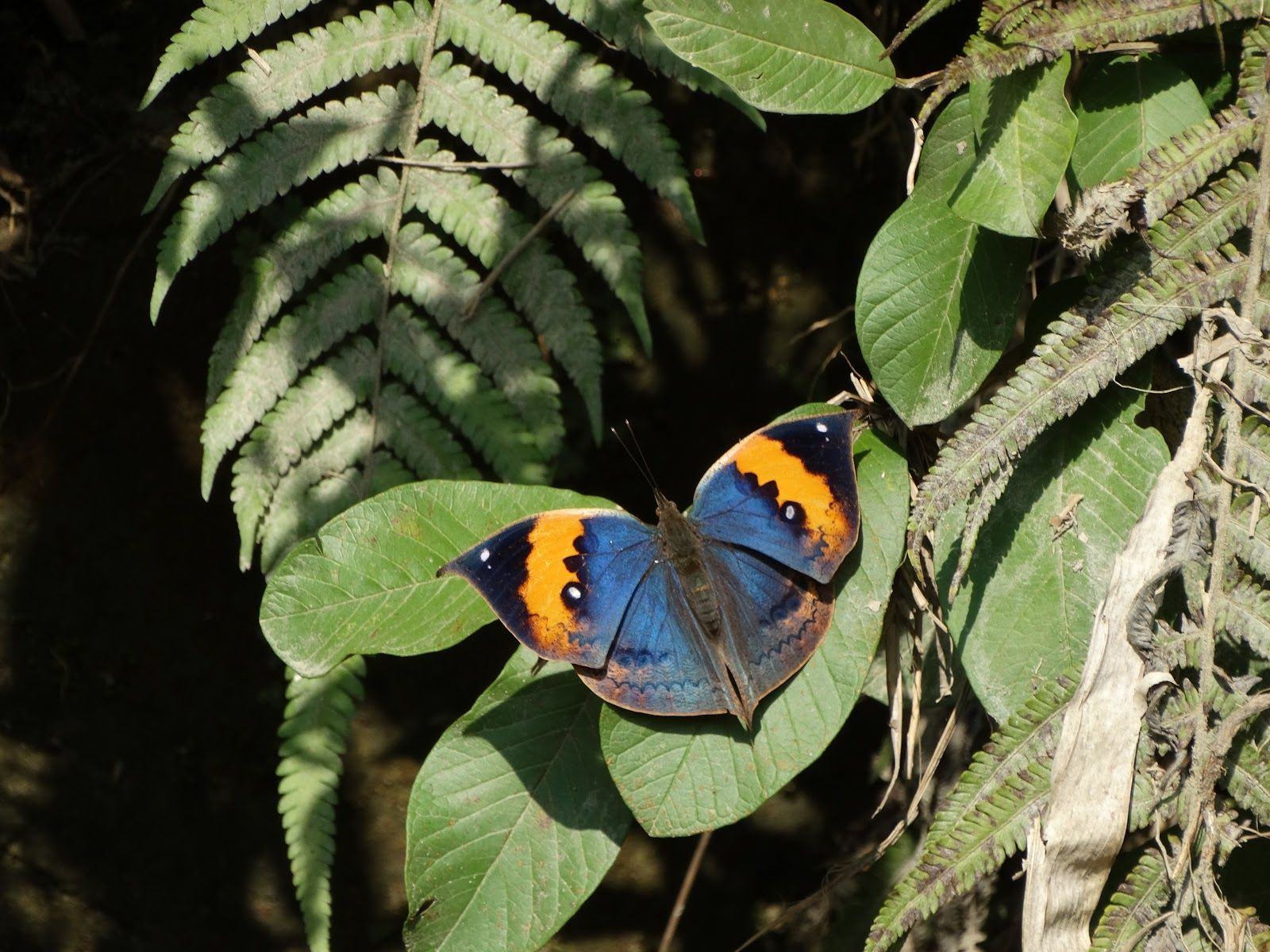 The Dead Leaf Butterfly