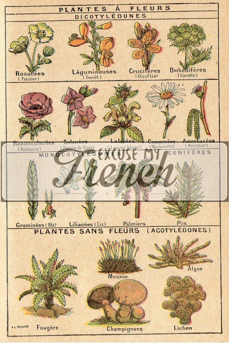 Vintage Botanical Illustration Plants And Trees Illustrations Botany Illustrations From Vintage French Book Botany Illustration Botanical Illustration Vintage Tree Illustration