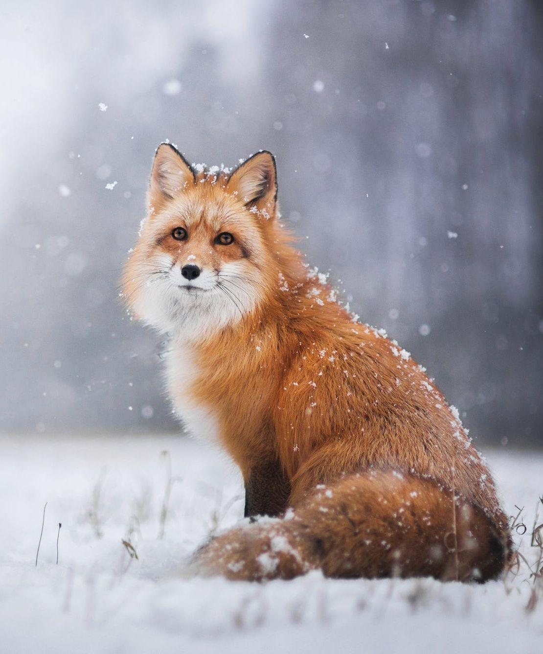 "beautiful-wildlife: ""Winter by © Iza Lyson "" #cutefox"