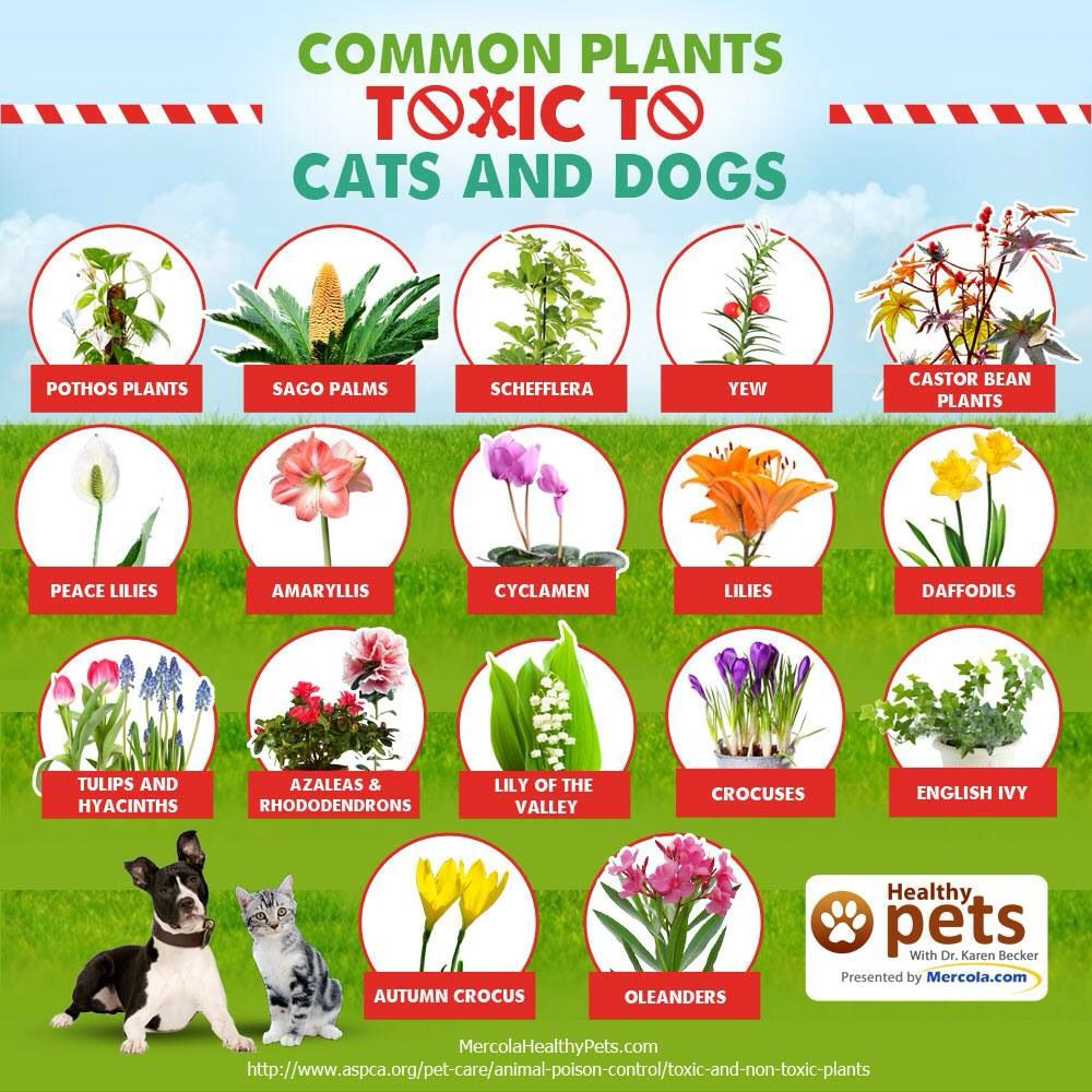 Unsafe Cat plants, Toxic plants for cats, Cat safe plants
