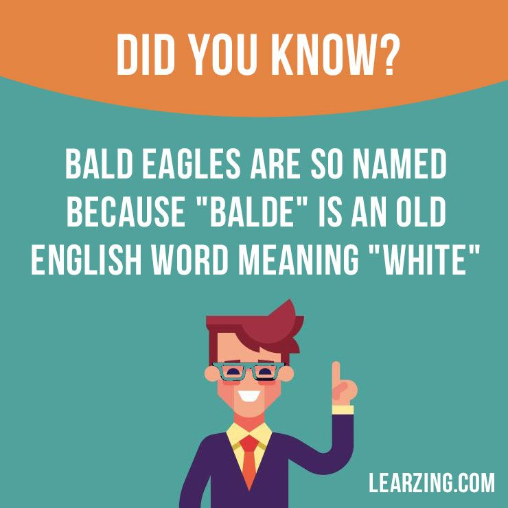 """Did you know? Bald eagles are so named because """"balde"""" is an Old English word meaning """"white"""". Want to learn English? Choose your topic here: learzing.com #english #englishlanguage #learnenglish #studyenglish #facts #factoftheday #didyouknow #interestingfacts"""