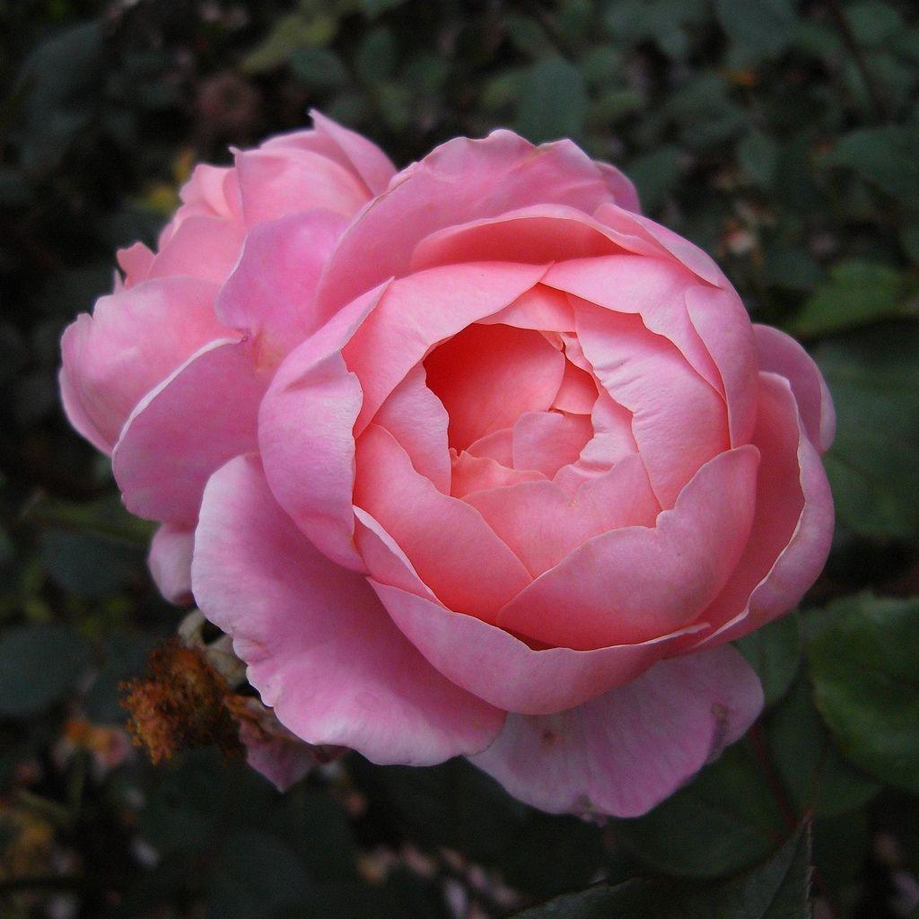 Brother Cadfael Rose Beautiful Flowers Flower Aesthetic Rose