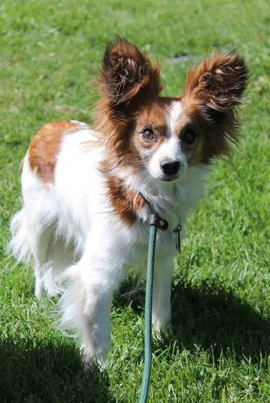 Adoption Pending Leo Papillon Mix Denver Co Shelter Exchange Papillon Mix Papillon Dog Dogs