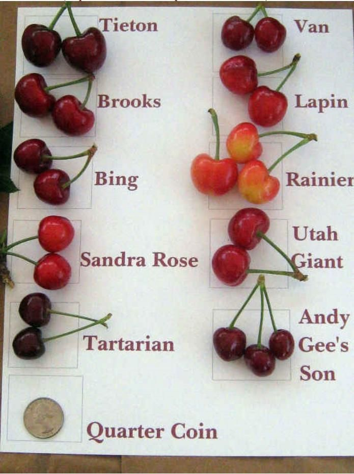 cherry types charts 20 cherry varieties available