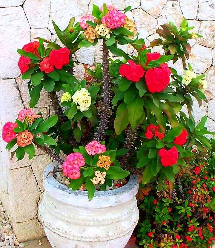 Corona de Cristo | Coronas de cristo, Jardinería en macetas ...