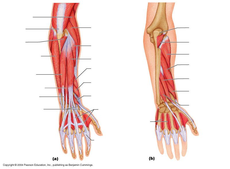 muscle blank drawing | Muscle diagram, Forearm muscles, Muscle