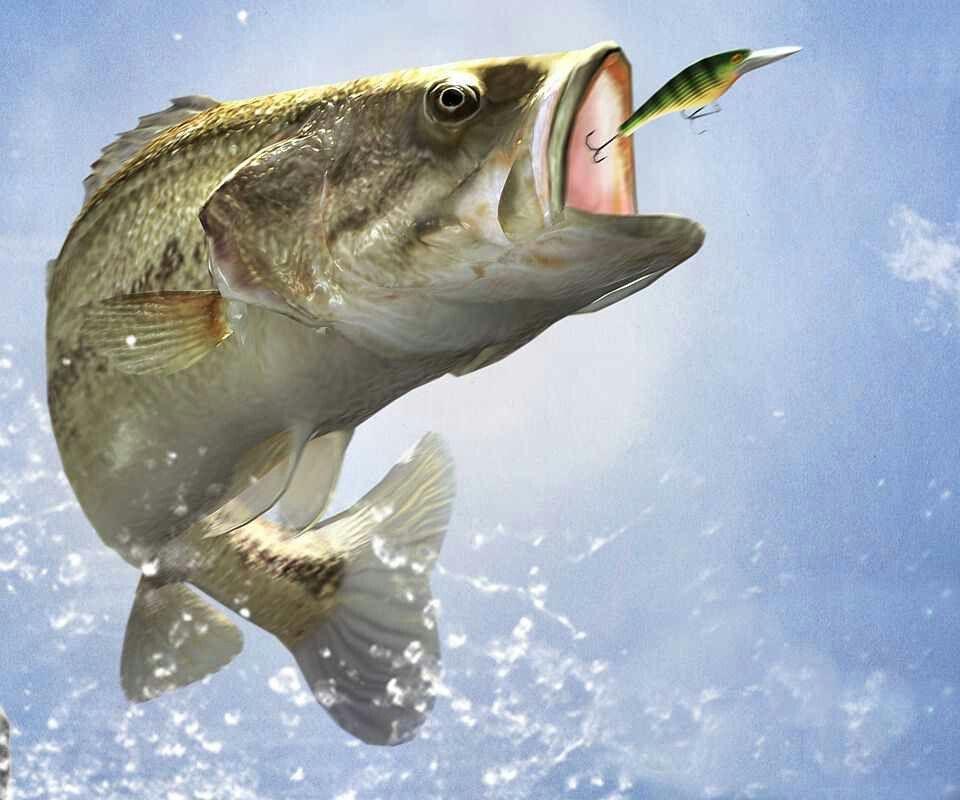 Bass Fishing Fish Wallpaper Fish Bass Fishing