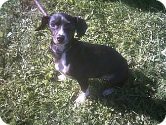 Cincinnati Oh Dachshund Chihuahua Mix Meet Bootsie A Dog For