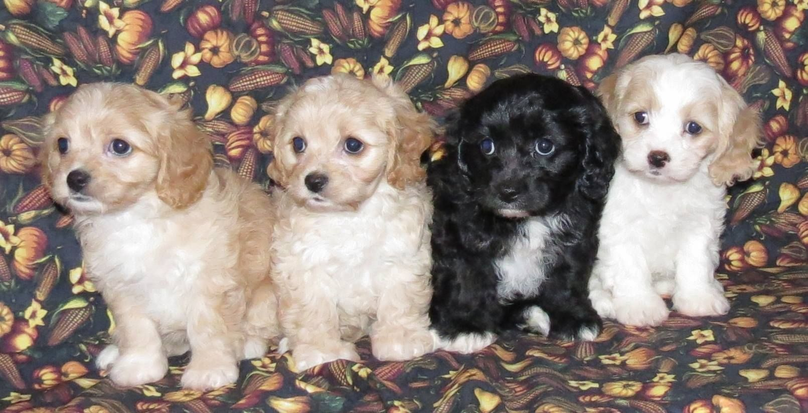 Cavachons From The Monarchy Offer Dog Breeders And Puppies For
