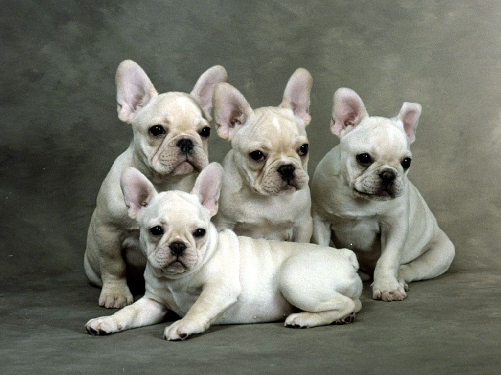 French Bulldog Puppies French Bulldog Puppies Bulldog Puppies Cute French Bulldog