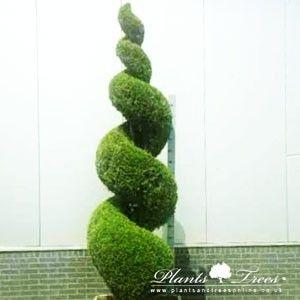 spiral thuja occidentalis smaragd emeraude yard. Black Bedroom Furniture Sets. Home Design Ideas