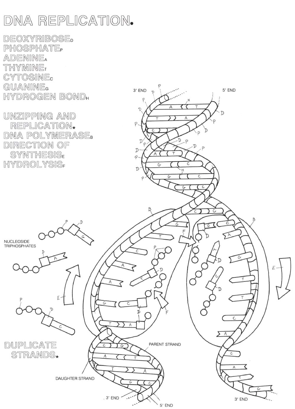 Dna Replication Coloring Page Coloring Home Coloring Pages