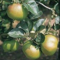 Fruit Trees Soft Fruit And Top Fruit Trees Fruit Trees Apple Tree Fruit