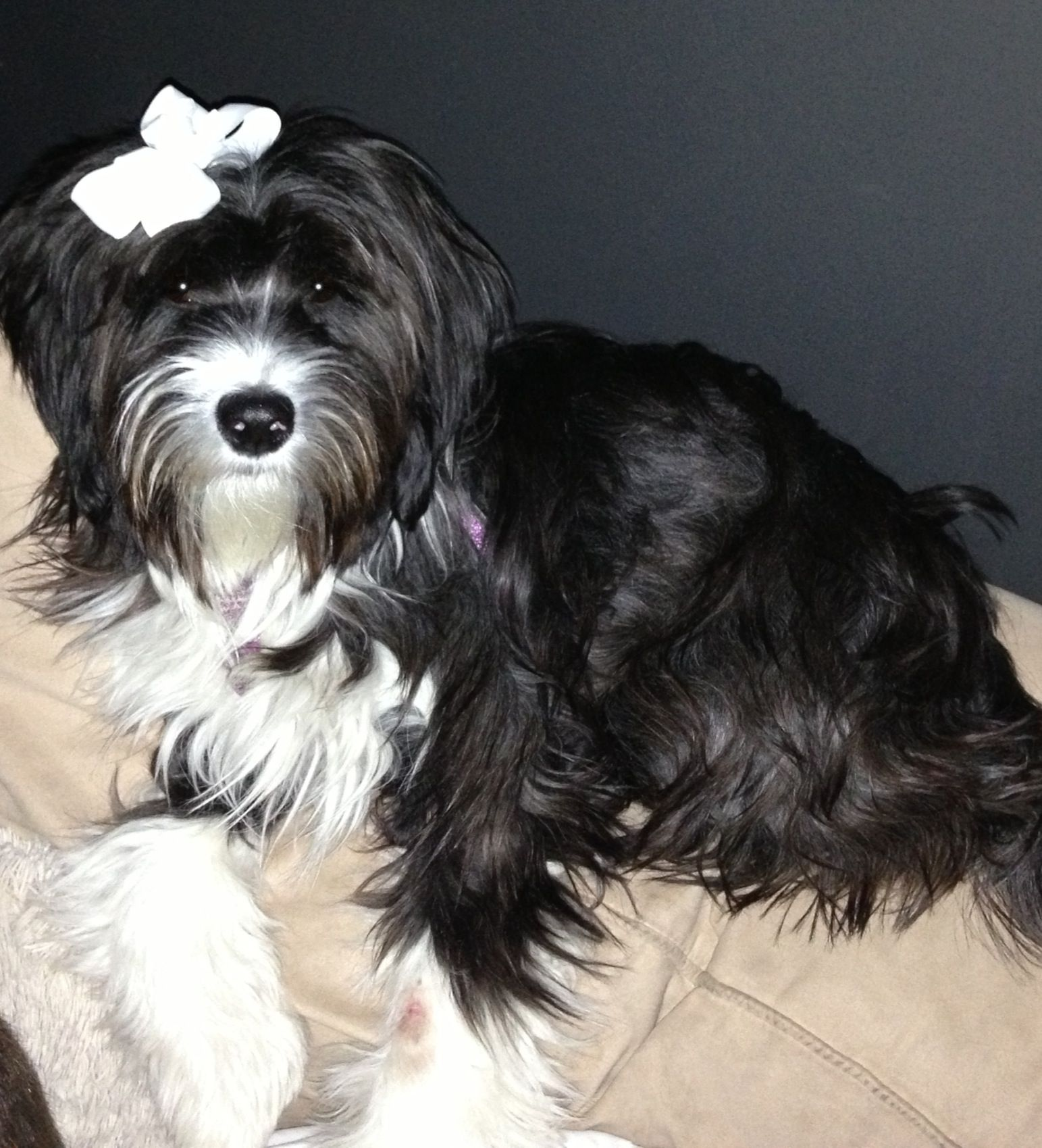 Tibetan Terrier Dalai Grace 7 Months Old She Is Growing Up So