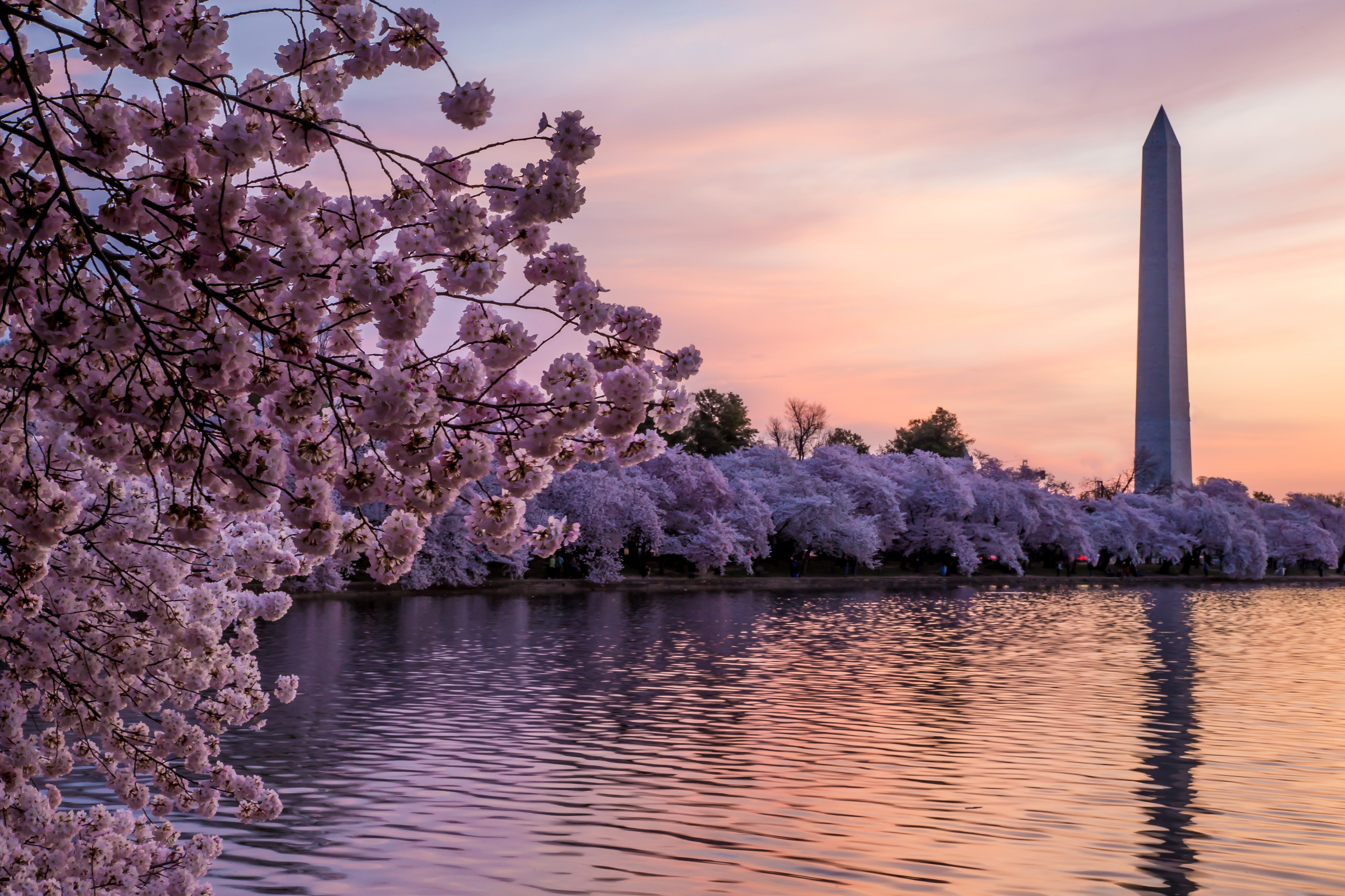 Japanese Cherry Blossom Bars Are Coming To Washington D C Japanese Cherry Blossom Japanese Cherry Cherry Blossom