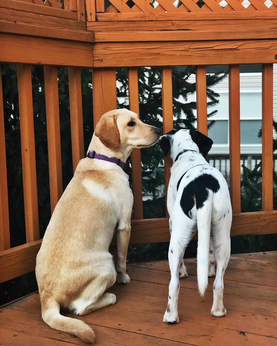 Partners In Crime On The Lookout Dog Gifts Labrador Retriever