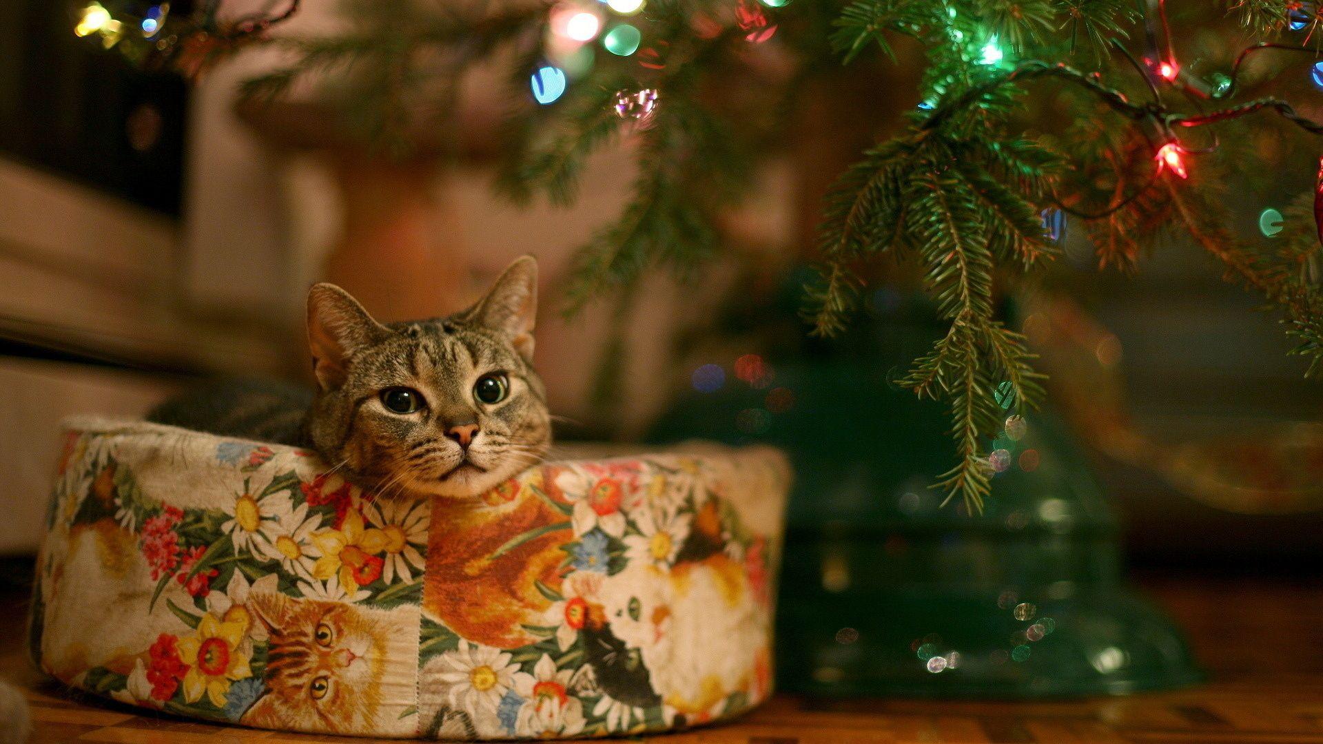 Download Cute Christmas Cat Full Hd 1080p Wallpaper