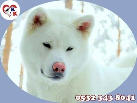 Albino Akita Yavru 05323438041 Akita Kulubu Akita