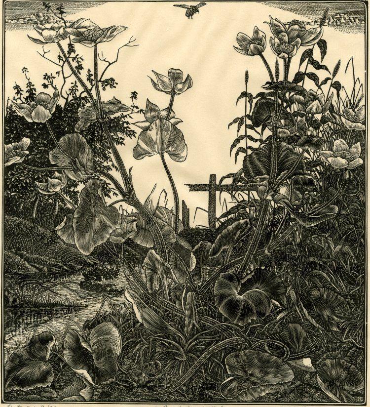Claughton Pellew (British, 1890-1966). Marsh marigolds. 1930. (wood engraving)