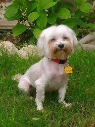 Presley Is An Adoptable Maltese Dog In Fort Worth Tx Presley Is
