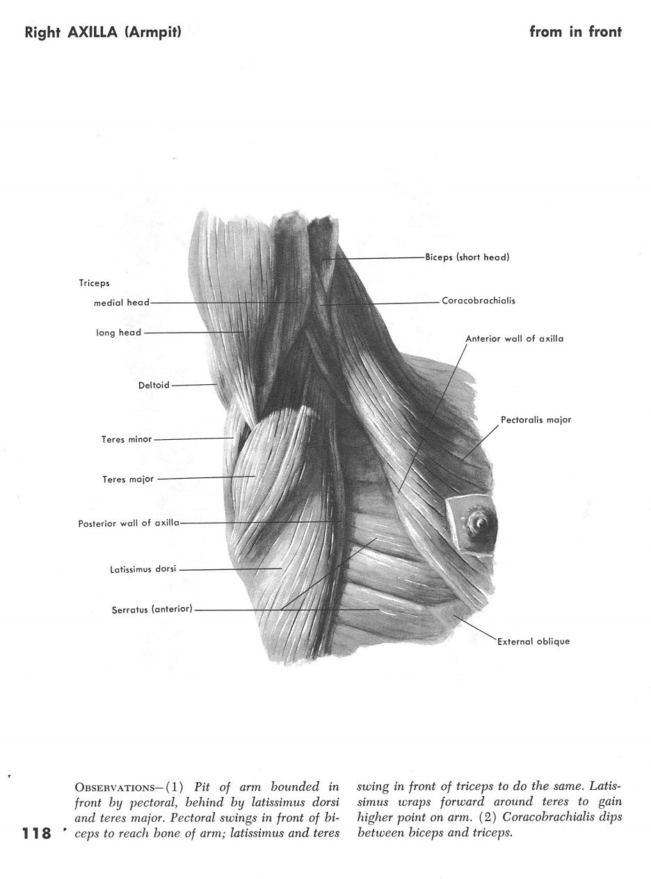 Unique Anatomy Of The Right Arm Adornment - Anatomy and Physiology ...