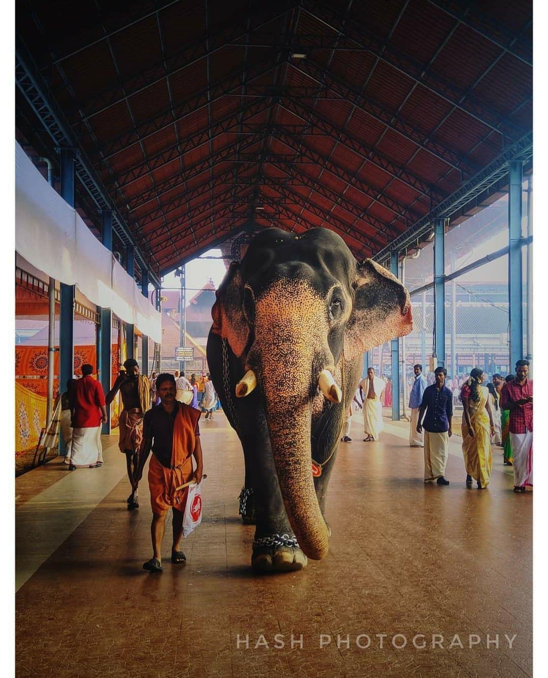 Kerala Elephant Streets Of Kerala Temple Guruvayoor In 2020