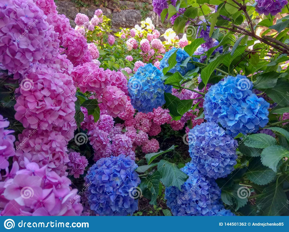 Lilacs Hydrangeas I D Love To Have More Of Them In My Garden Garden Shrubs Beautiful Gardens Flower Garden