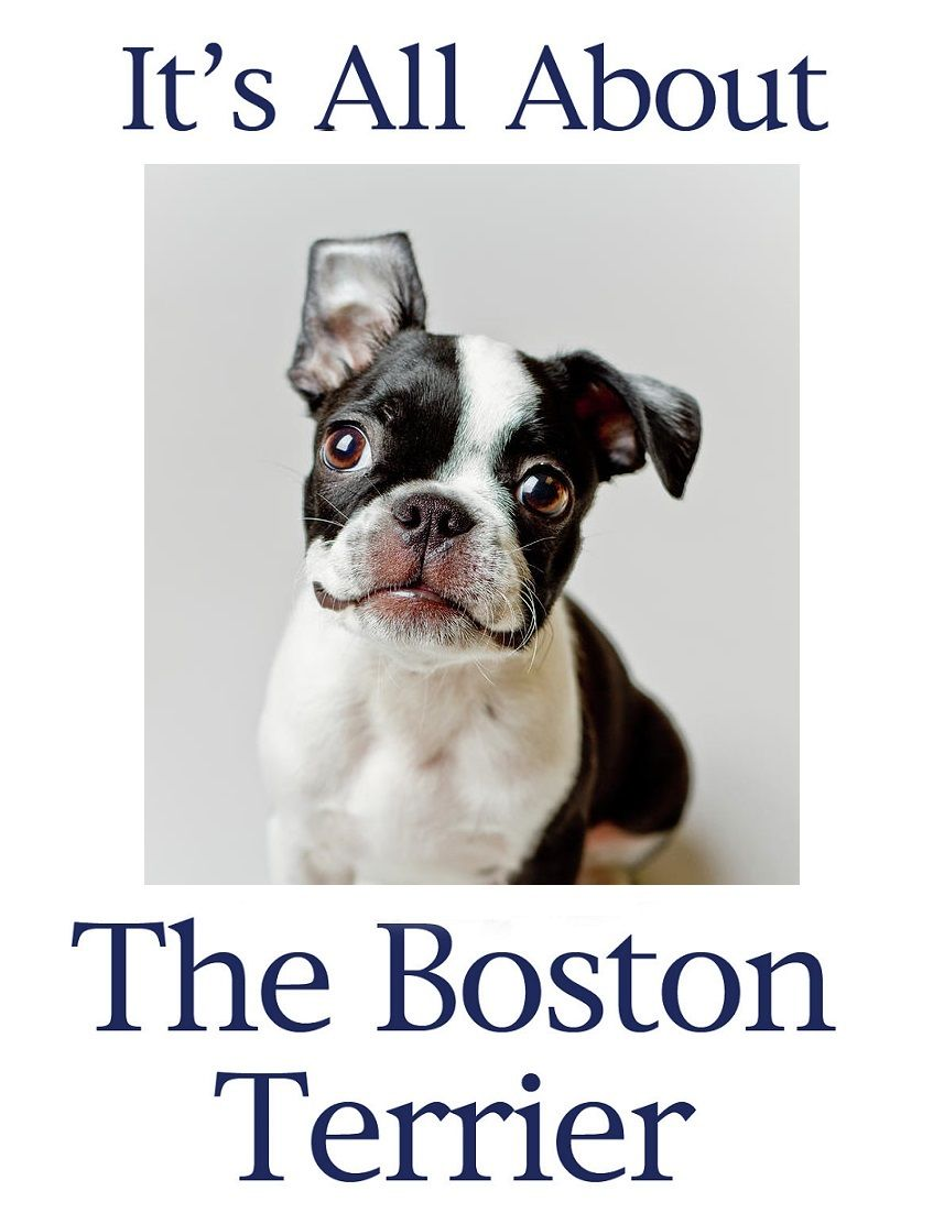 Pin By Lauren Hartman On Boston Terriers With Images Boston