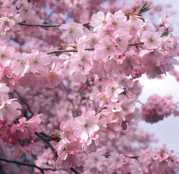 5ft Accolade Cherry Blossom Tree 9l Pot 47 99 Ornamental Cherry Cherry Blossom Tree Types Of Flowers