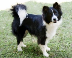 Samoyed Cross Breeds Border Collie Border Collie Mix Puppies Dog Crossbreeds