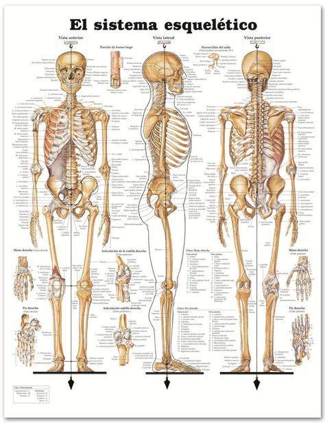 Café y cigarro: muñequito de barro.: anatomía cuerpo humano. huesos ...