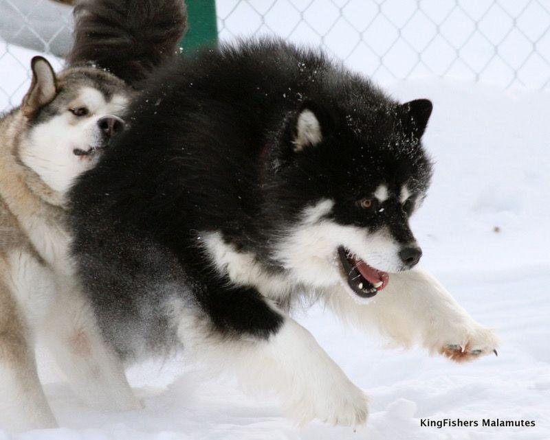 Black White Alaskan Malamute Alaskan Malamute Giant Alaskan
