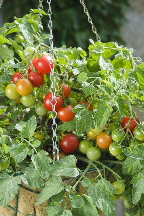 Tomatoes In Hanging Baskets Aas 2011 Winner Terenzo 400 x 300