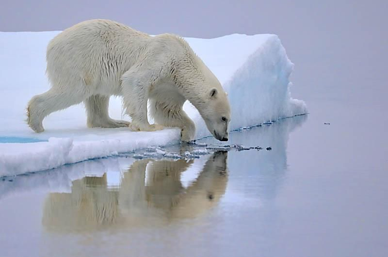 Polar Bear about to enter the water- Svalbard - Norway
