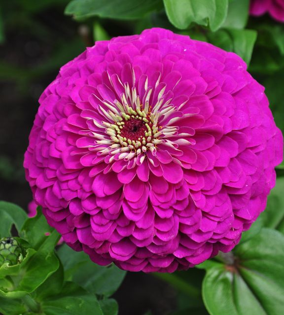 "Flower Garden For Dummies: Zinnia - ""Purple Prince"" - 3-4"" Circumference"
