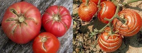 Huerto ecológico: ¿Por qué se agrietan o rajan los tomates? Causas y soluciones | ECOagricultor
