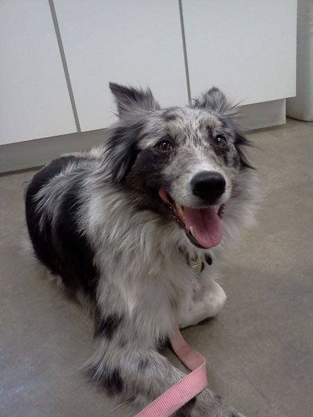 Bindy Asrm 0064 Has A New Forever Home Australian Shepherd Blue Merle Australian Shepherd Blue Merle