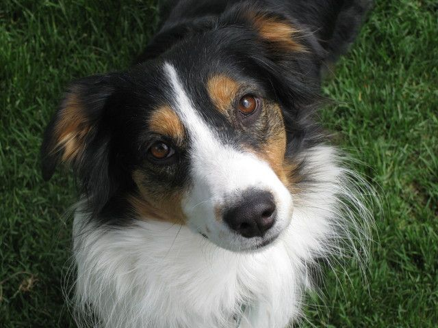 Community English Shepherd Shepherd Dog Breeds Dogs