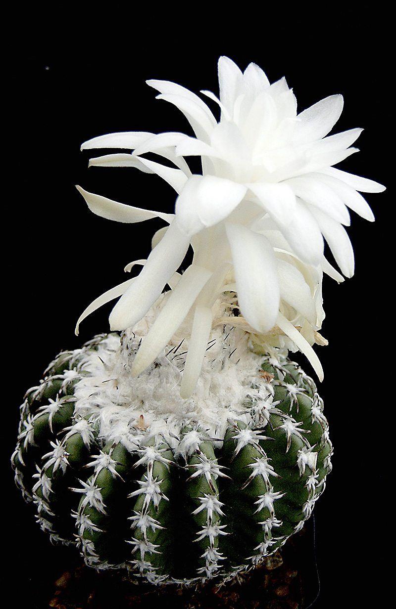 Discocactus woutersianus #cactusplant