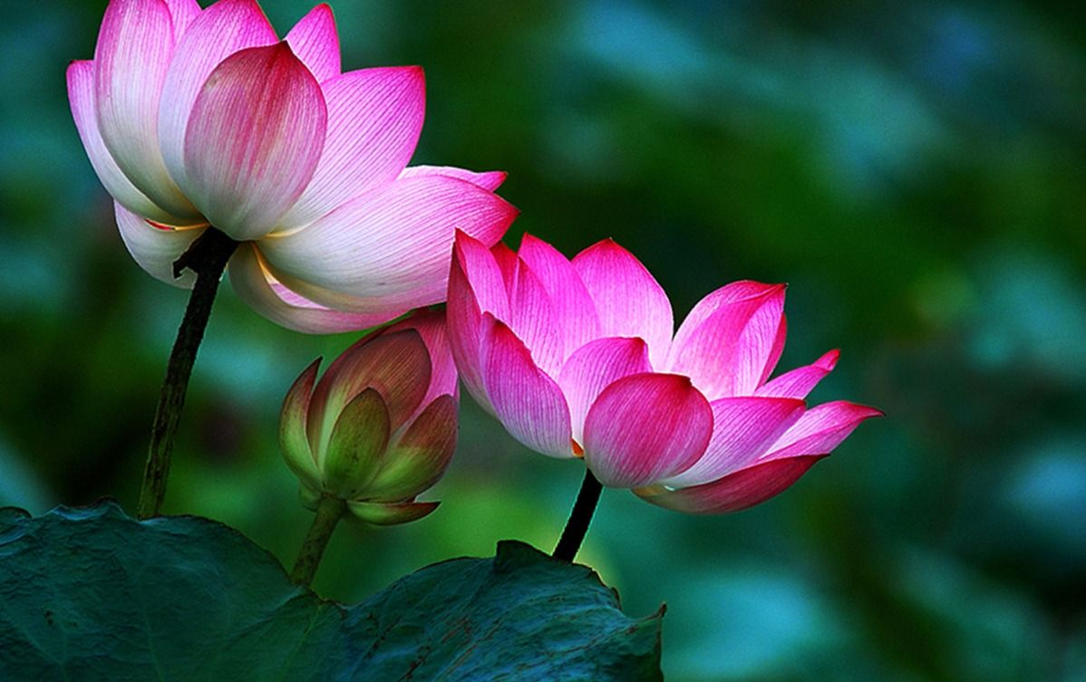 Lotus flower buddha 7 wallpaper background hd flowers pinterest lotus flower buddha 7 wallpaper background hd mightylinksfo Image collections