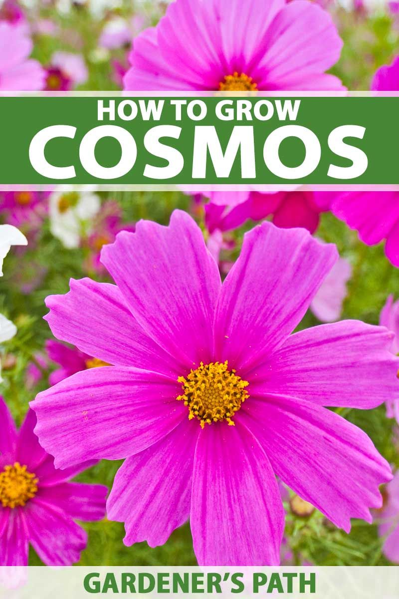 How To Grow And Care For Colorful Cosmos Flowers With Images Annual Flowers Cosmos Flowers Plants